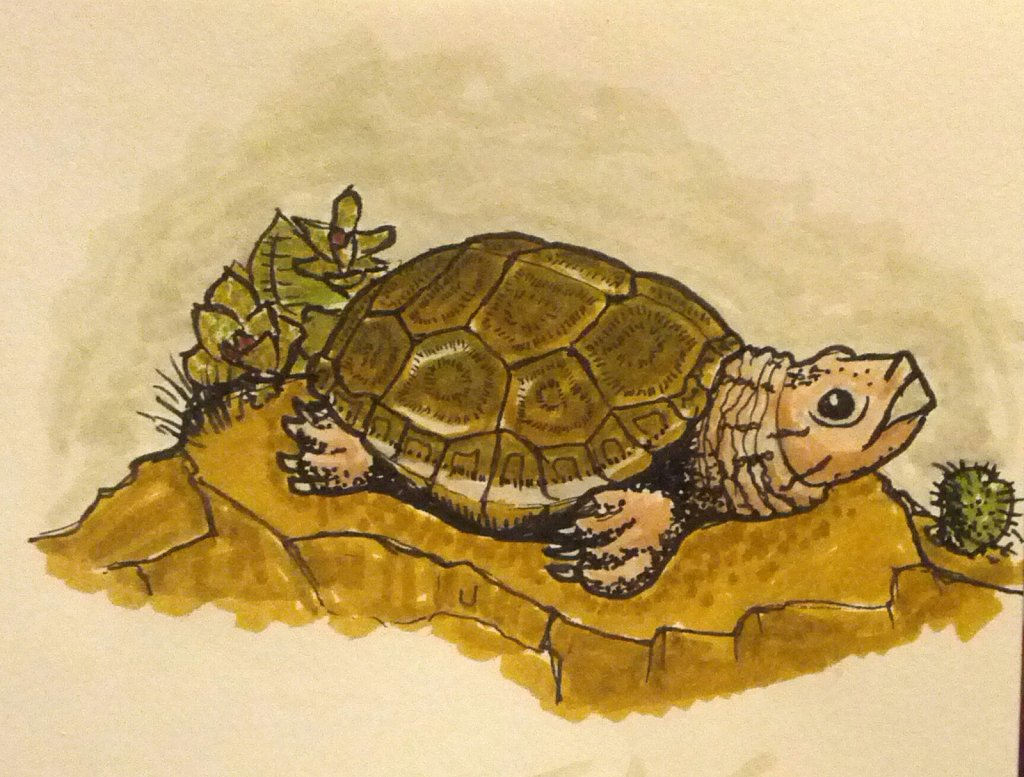 Desert Box Turtle