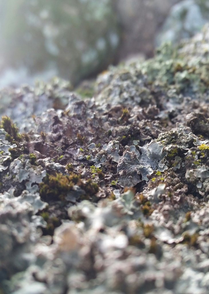 Leafy Lichen and Rock